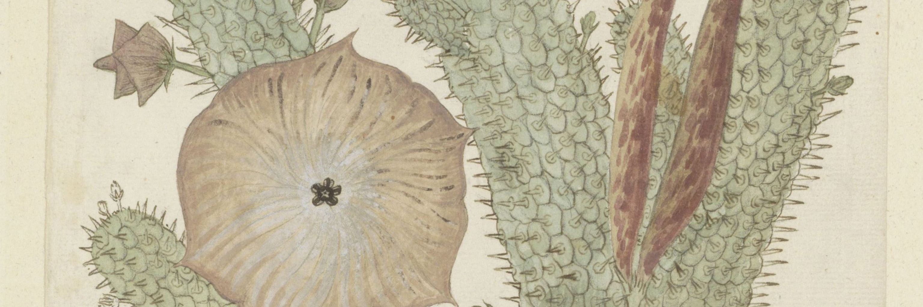 Illustration of the Hoodia gordonii plant.