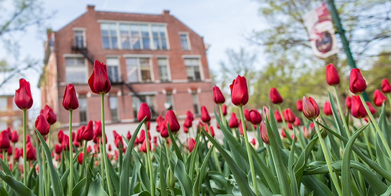 Crimson tulips in front of Owen Hall on the Indiana University Bloomington campus.