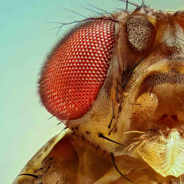 A magnified fruit fly